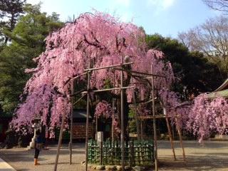 府中大國魂神社の枝垂れ桜